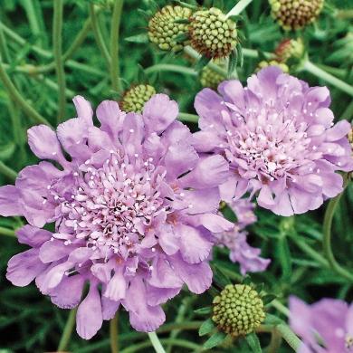 Petite scabieuse butterfly blue 39 fiches de plante for Petite plante exterieur