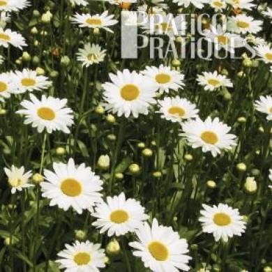Marguerite blanche 39 becky 39 fiches de plante jardinage for Plante blanche exterieur