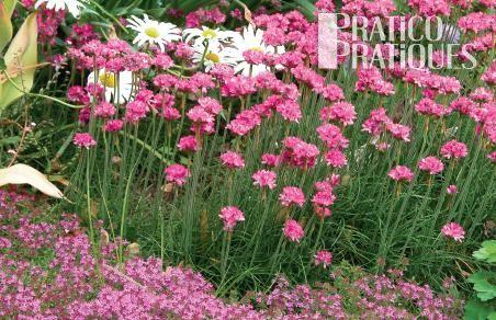 gazon d 39 espagne 39 splendens 39 fiches de plante jardinage et ext rieur pratico pratique. Black Bedroom Furniture Sets. Home Design Ideas