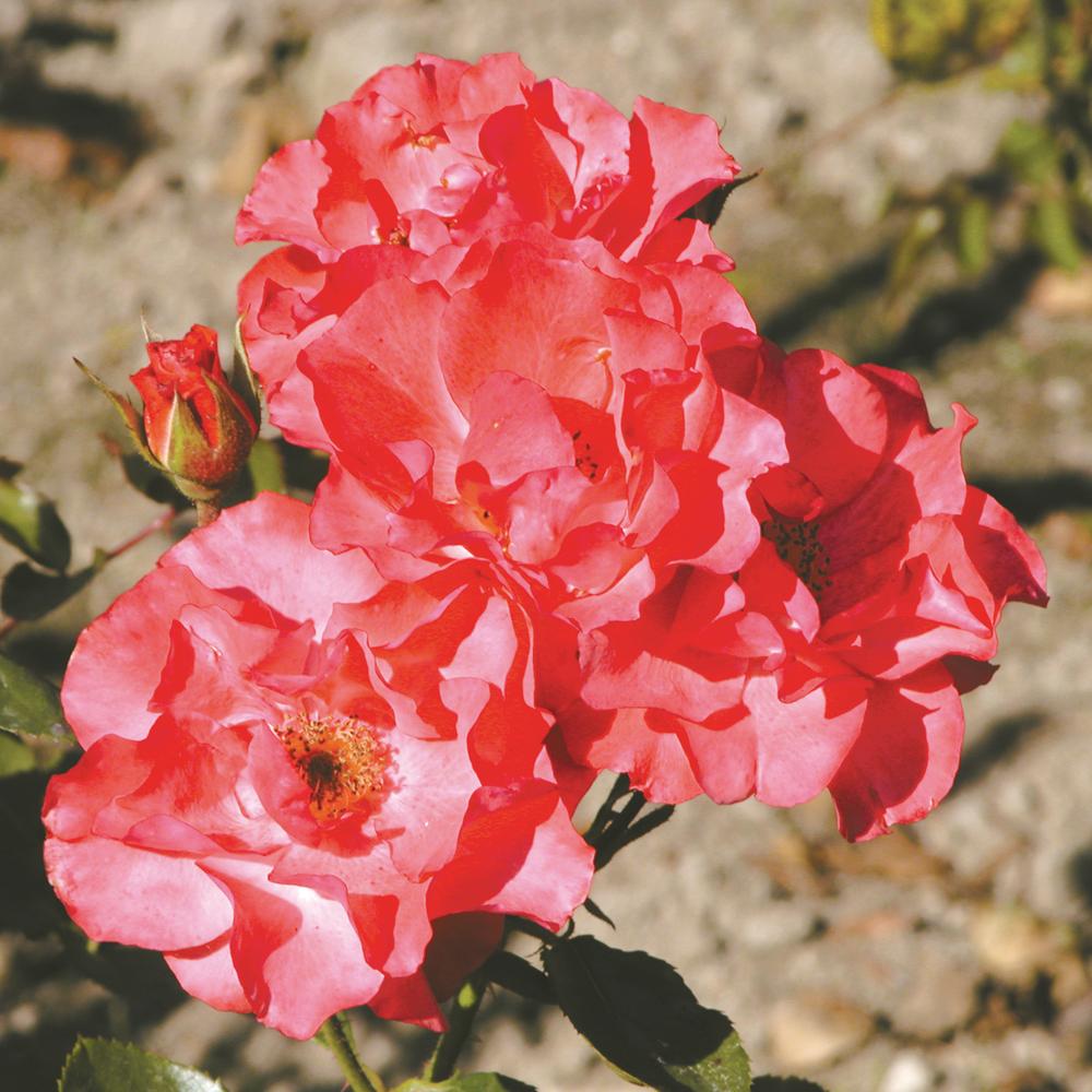 comment tailler les fleurs fan es sur un rosier trucs et conseils jardinage et ext rieur. Black Bedroom Furniture Sets. Home Design Ideas