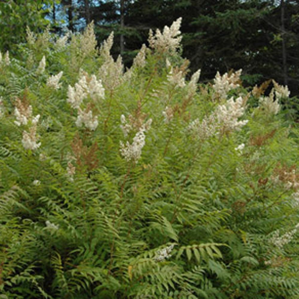 Sorbaria feuilles de sorbier fiches de plante for Plante 5 feuilles