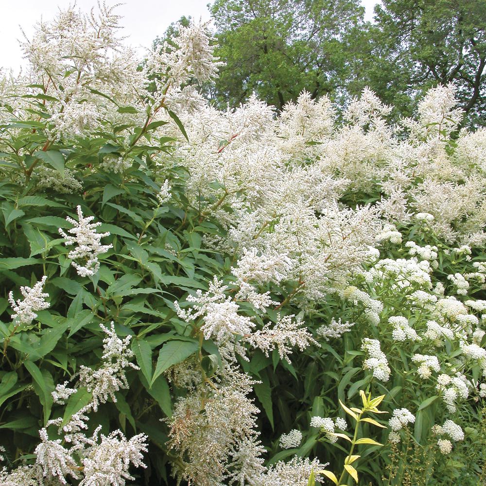 Renou e polymorphe fiches de plante jardinage et for Plante vivace exterieur