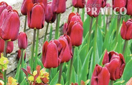 Tulipes Et Euphorbes Un Contraste 233 Lectrisant Je Jardine