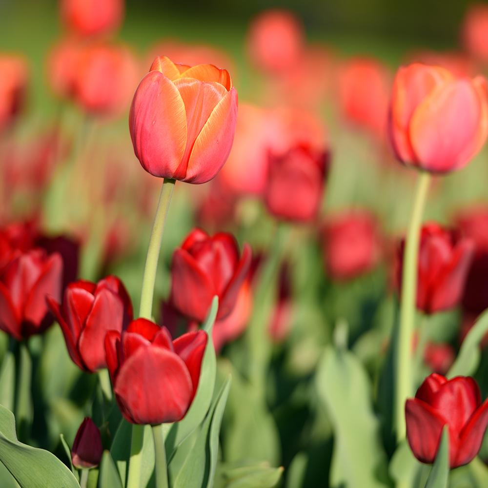 le meilleur moment pour planter des tulipes et autres bulbes du printemps trucs et conseils. Black Bedroom Furniture Sets. Home Design Ideas